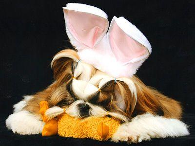 Toelettatura Shitzu ~ Best shitzu images shih tzus puppies and my love