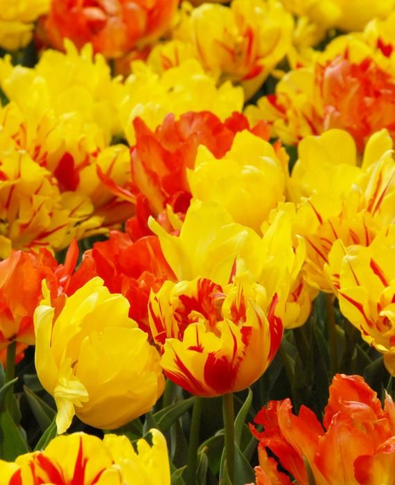 Tulip On Fire Mix Top Size Bulbs Bulb Flowers Gardening For