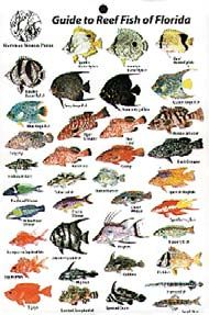 Product image for reef fish identification cards florida for Florida freshwater fish species