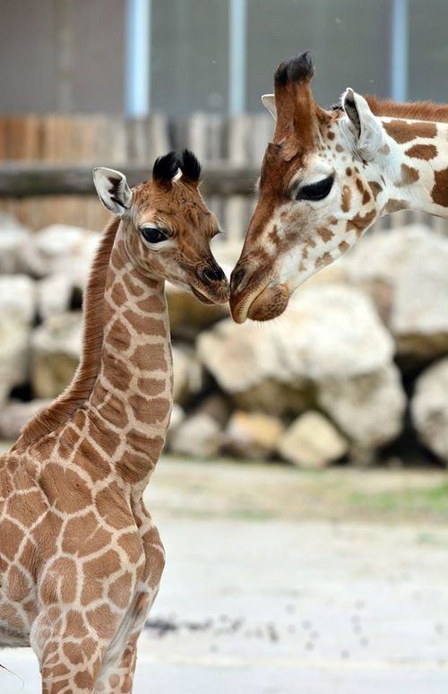 Got Legs?  There's a New Baby Giraffe at Budapest Zoo.  See a short clip of her birth. and more pictures