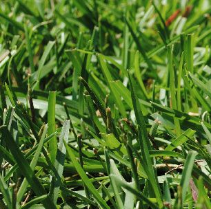 Sod Woerner Landscape Lawn Work Types Of Grass Centipede Grass