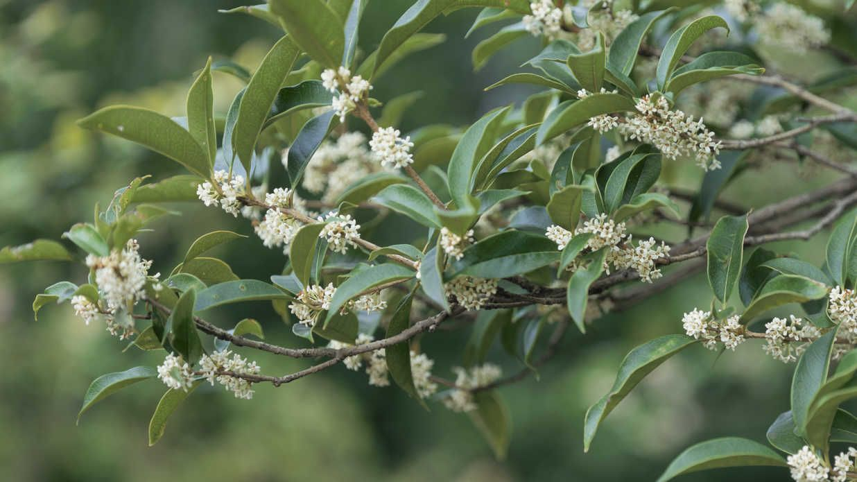 The Tea Olives Are Blooming! Olive tree care, Osmanthus