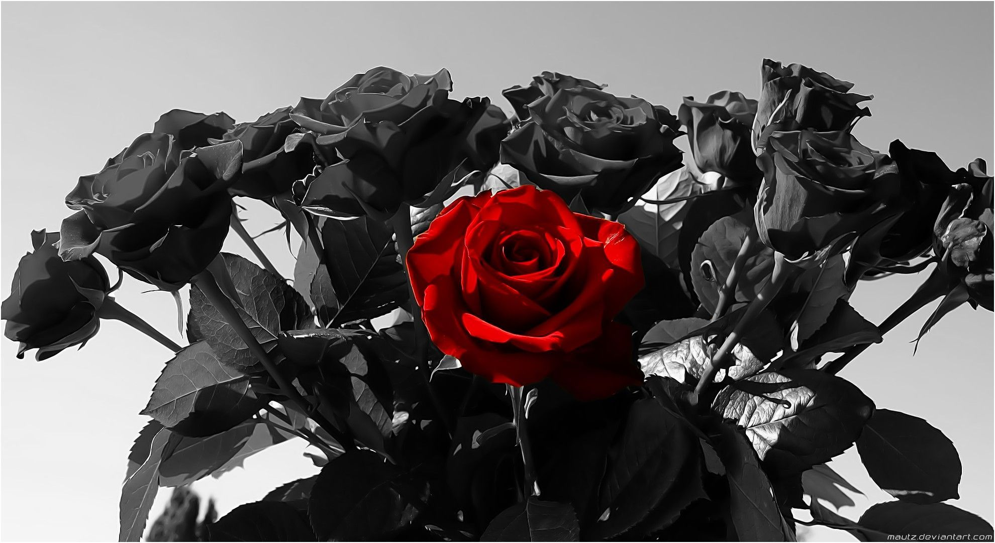 Black And White Background Red Rose