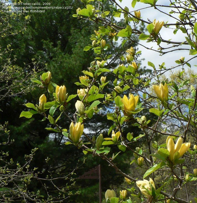 Full Size Picture Of Magnolia Cucumber Magnolia Ultimate Yellow