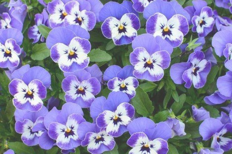 Pansies Are Bright Colorful And Easy Care Requiring Only Regular Irrigation Annual Fertilizing And Deadheading As Flower Pansies Viola Flower White Hibiscus
