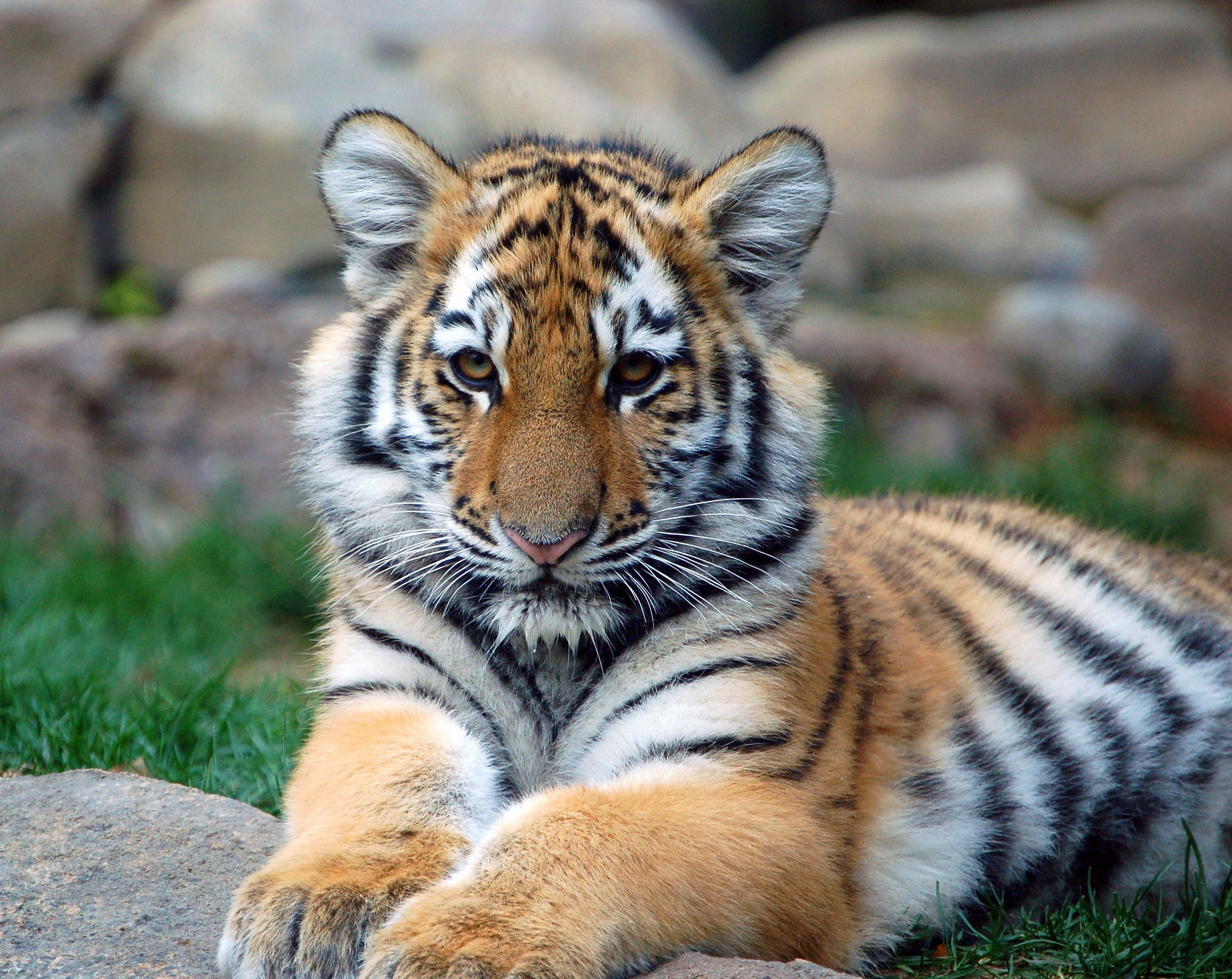 a playful tiger cub - loves animals. animal wallpapers. hd wallpaper