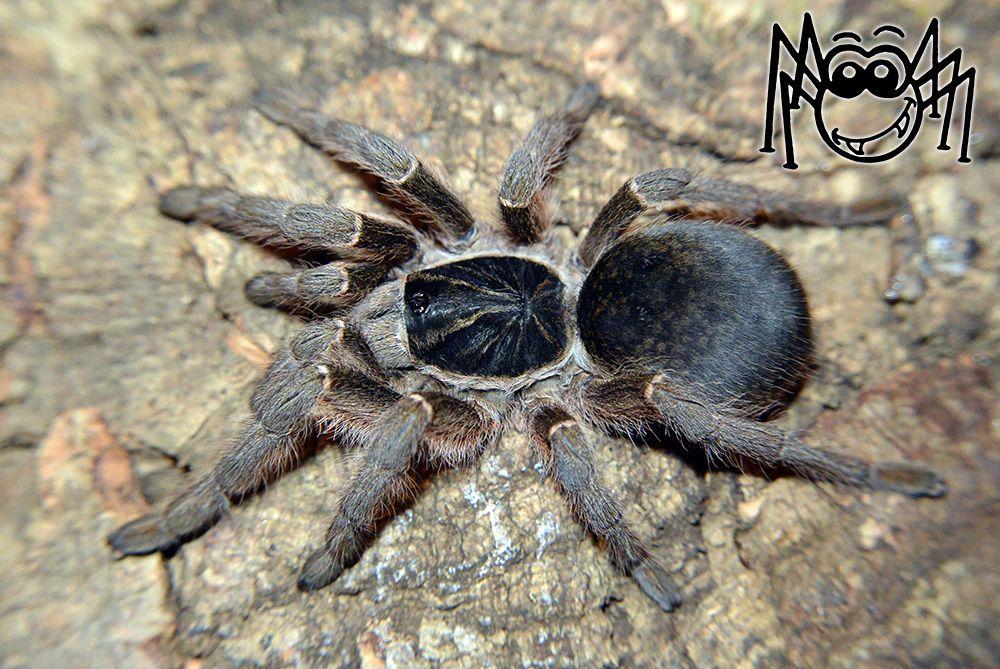 Harpactira guttata adult female madárpók tarantula