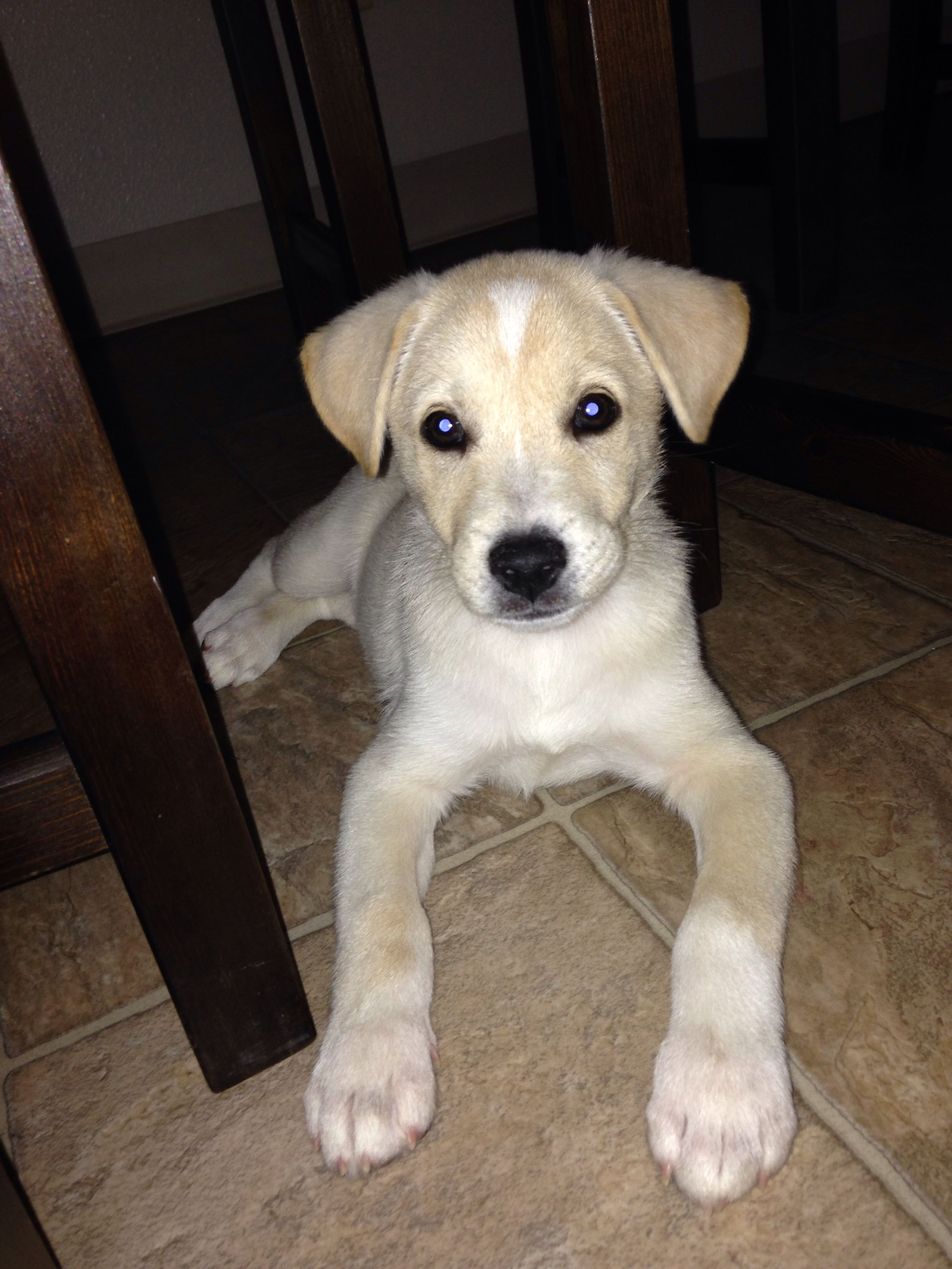 Shiba inu lab mix. (With images) Fluffy puppies