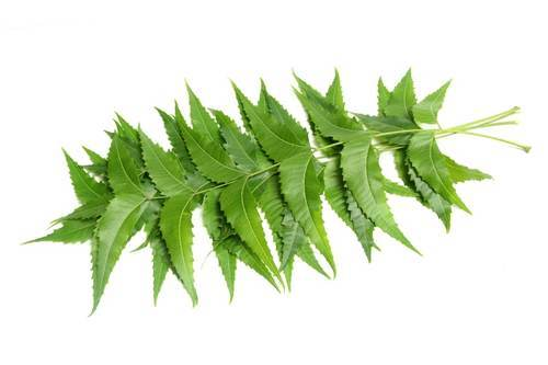 Can You Eat Neem Leaves What Are The Health Benefits Neem Ayurvedic Herbs Neem Leaf Benefits