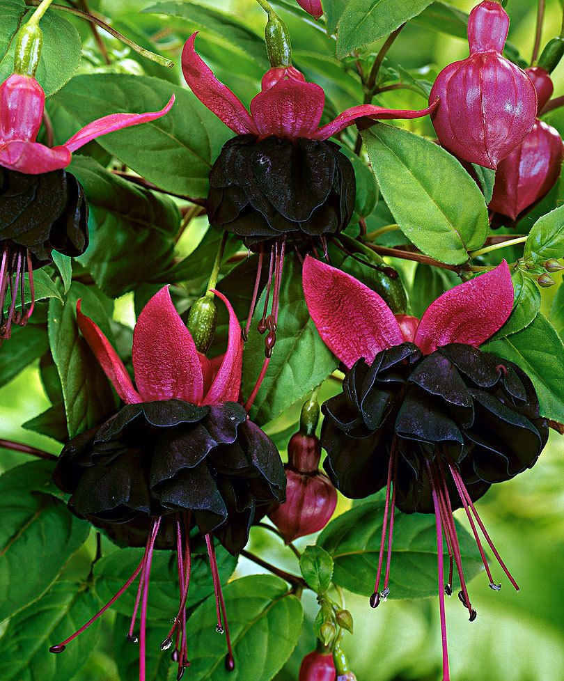 Fucsia Semi Pendente New Millennium Flowers 4 Pinterest
