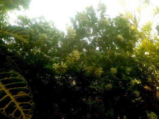 indian name - kamini - botanical name: Murraya paniculata  | Tales