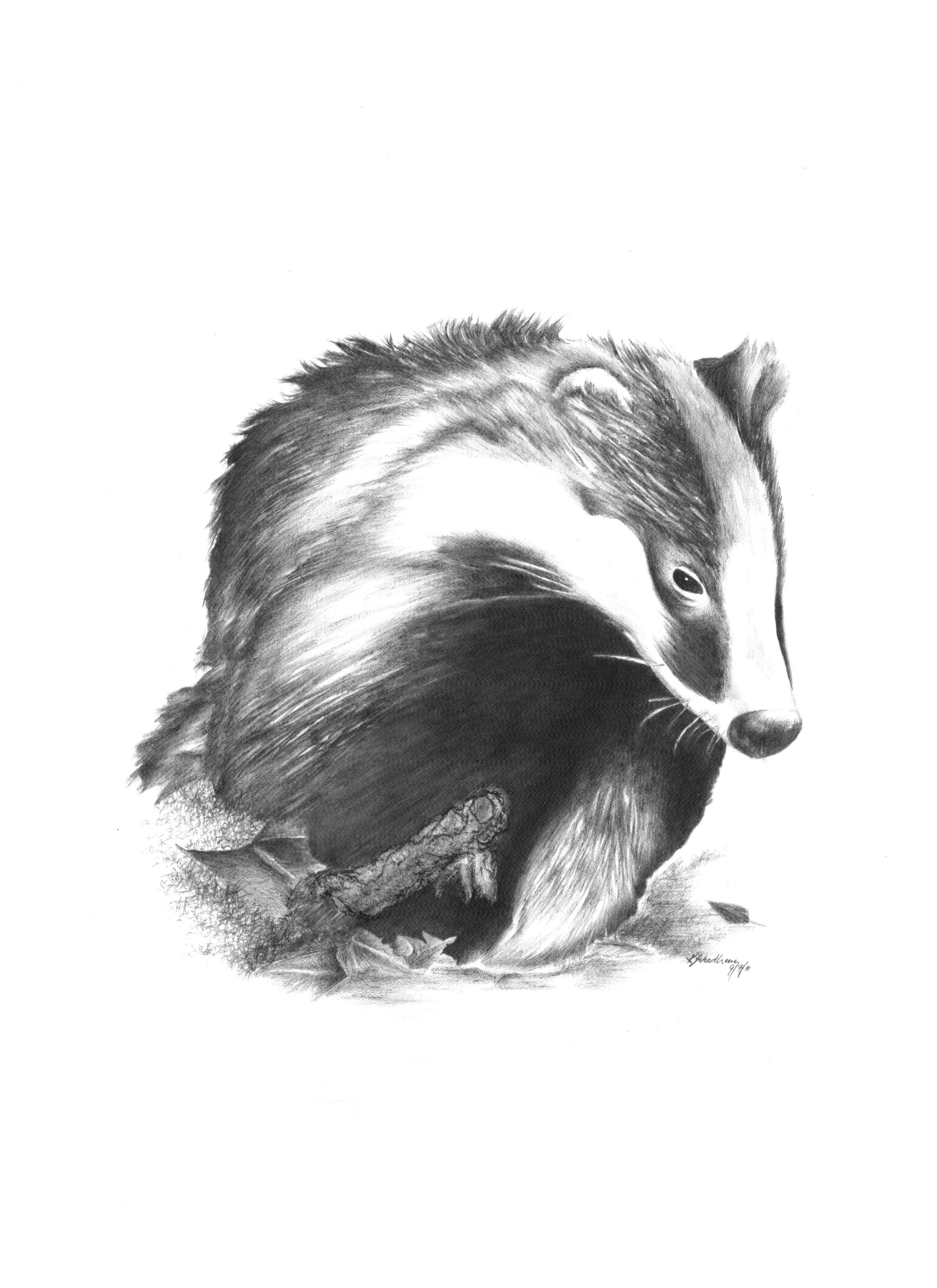 badger drawing starving artist badgers pinterest