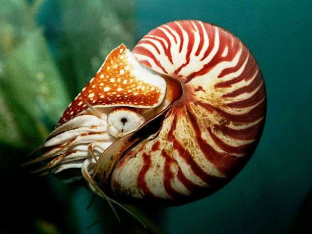 25 Bizarre Prehistoric Animals That Are Alive Today Nautilus Prehistoric Animals Ocean Animals