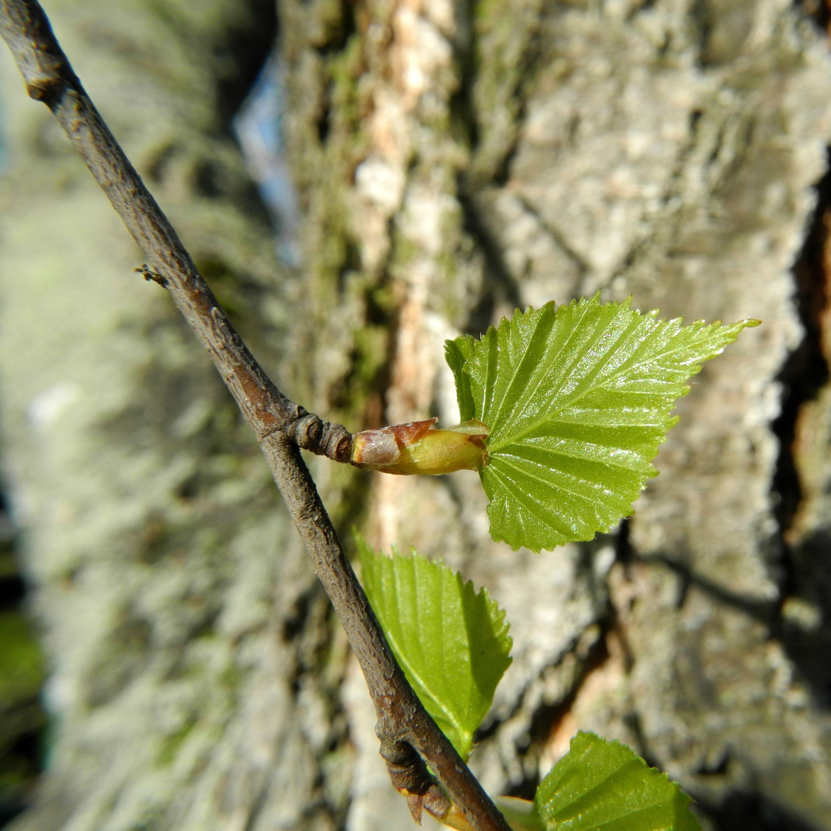 Hange Birke Blute Rinde Blatt Betula Pendula Birke Blute Birke