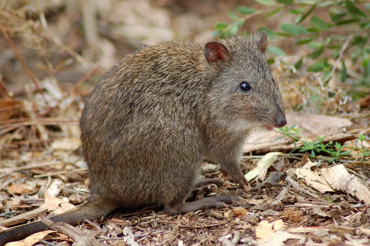 Gilbert's Potoroo is Australia's most endangered marsupial