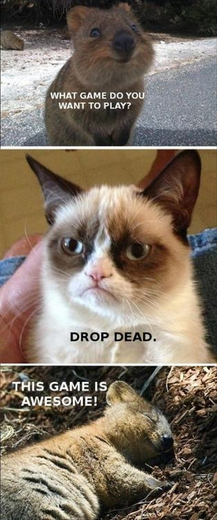 Funny grumpy cat