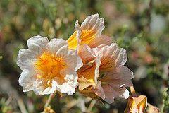 Tropaeolum sessilifolium (Soldadito de Cordillera) (Carlos Ivovic O.) Tags: wildflowers florachilena tropaeolaceae floranativadechile floradelacordilleradesantiago