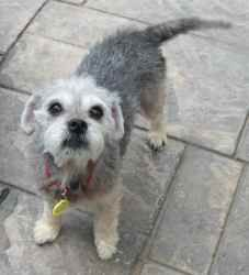Adopt Pam On Yorkie Mix Schnauzer Dogs Cute Dogs