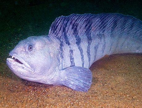 Noaa Image Of A Atlantic Wolffish Weird Animals Animals Beautiful Animals