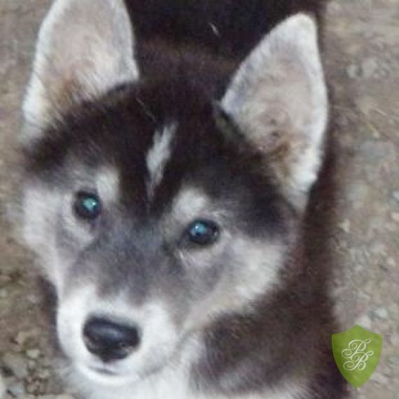 Puppies For Sale Washington Siberian Husky Breeders Husky