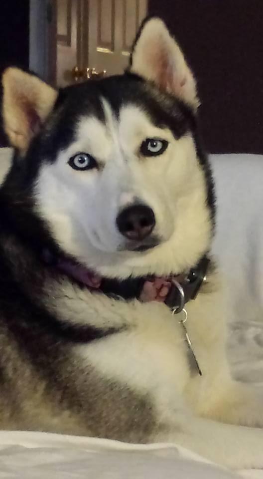 Adopt Sabine On Husky Siberian Husky Rescue Siberian Husky Dog