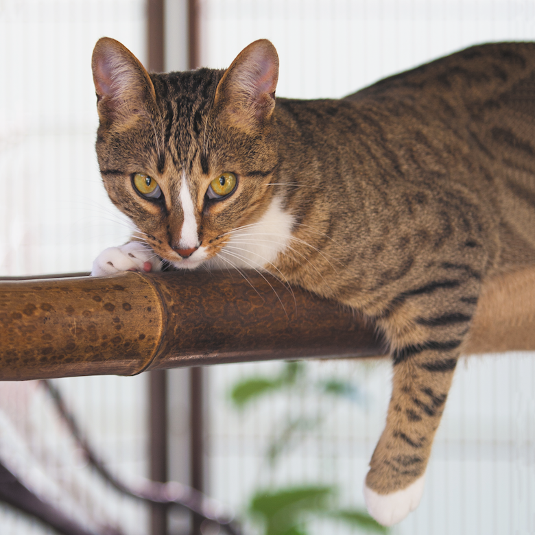 How to Survive Your Cat's First Heat Cycle Cats, Cat in