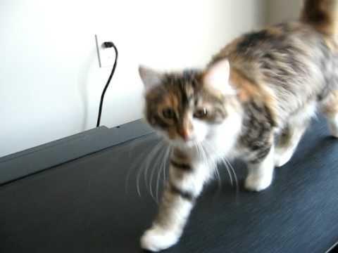 My Cat Loves the Treadmill