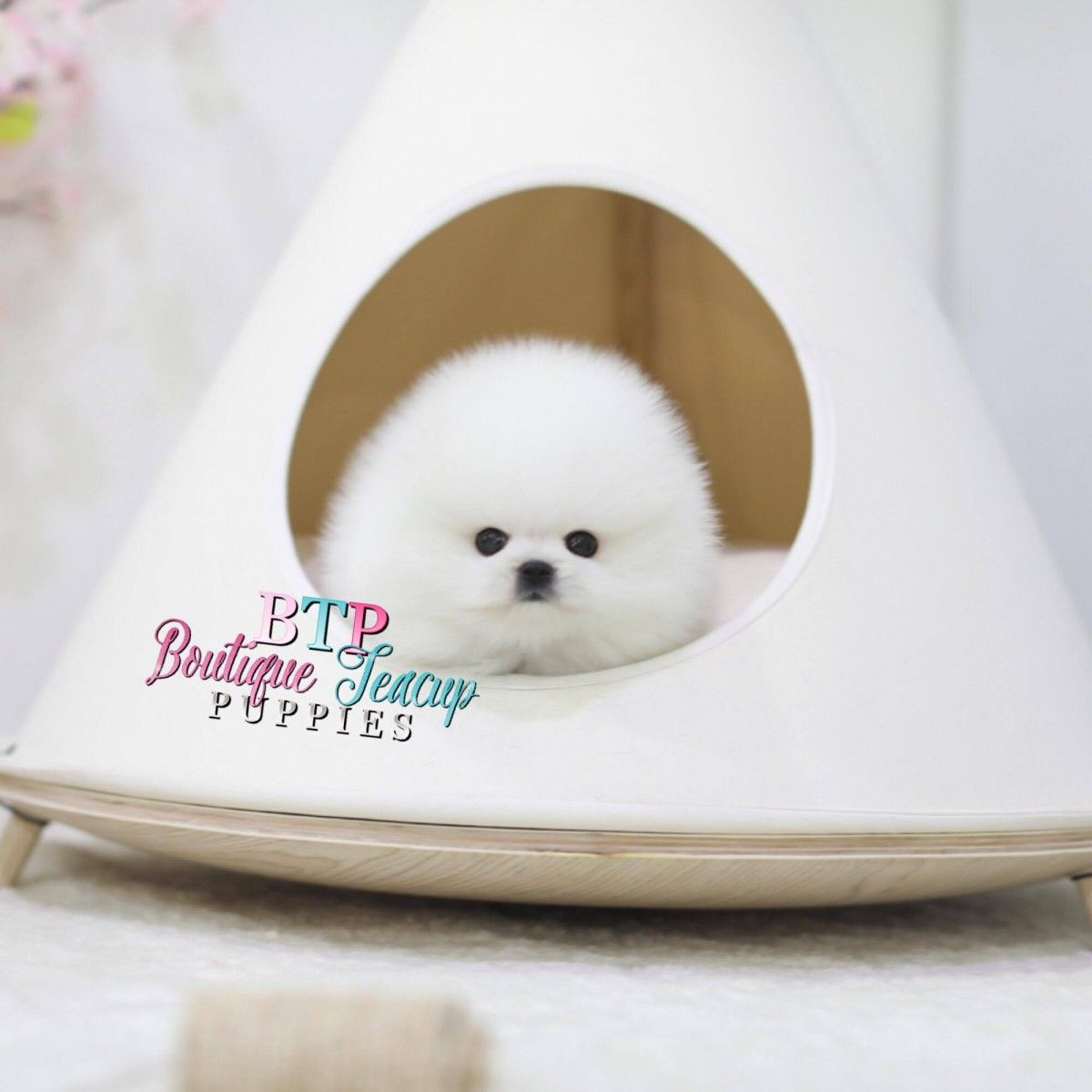 Micro Teacup Pomeranian Puppies For Sale In Texas White Miniature Toy Pom Puppies For Sale Pomeranian Puppy For Sale Pomeranian Puppy Pomeranian Puppy Teacup
