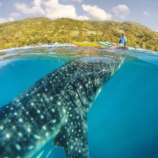 A whale shark coming up to say hi in the Philippines via Twitter @AlistairReign & AlistairReignBlog.com