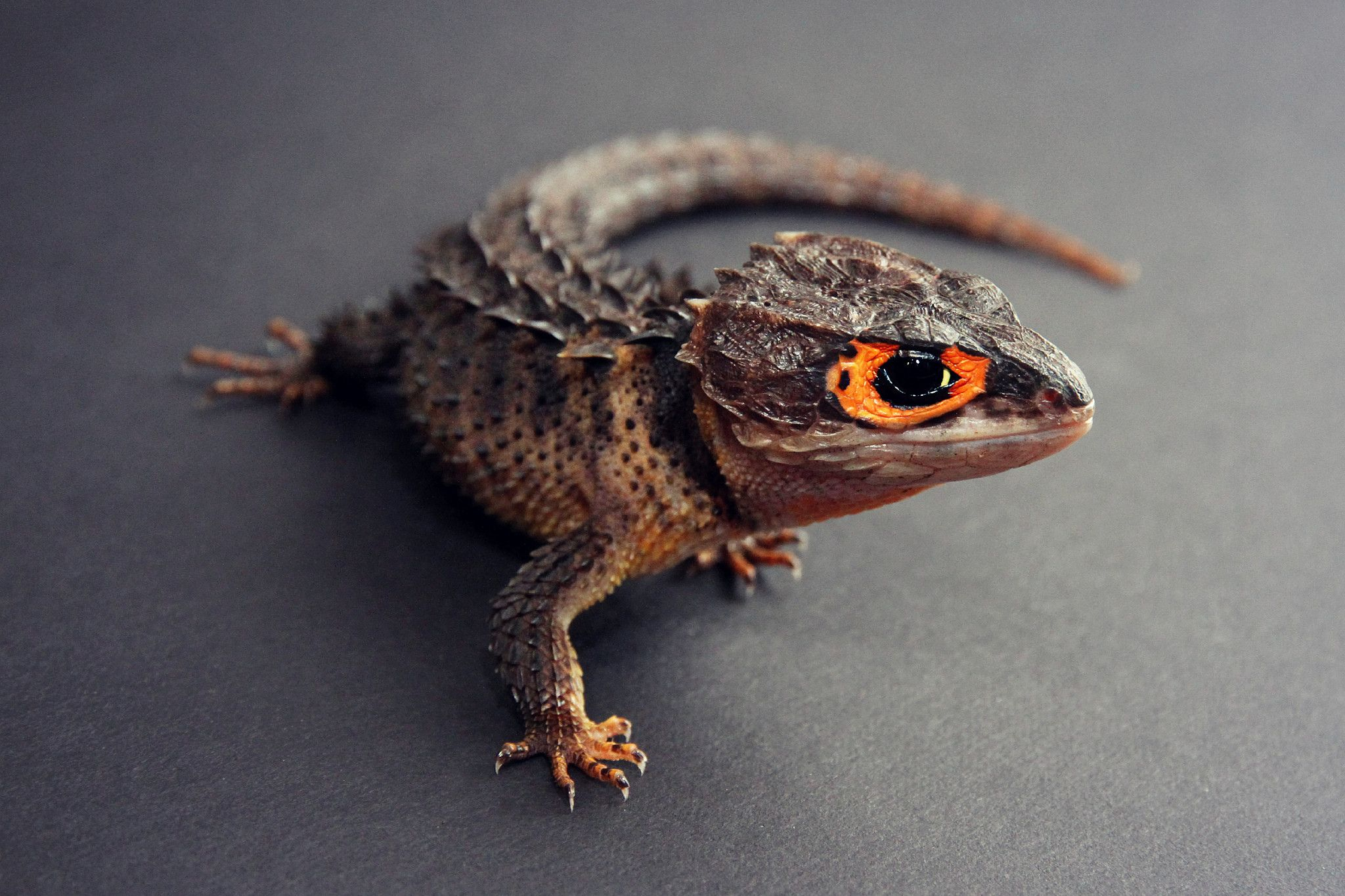 Orange Eyed crocodile skink - rad