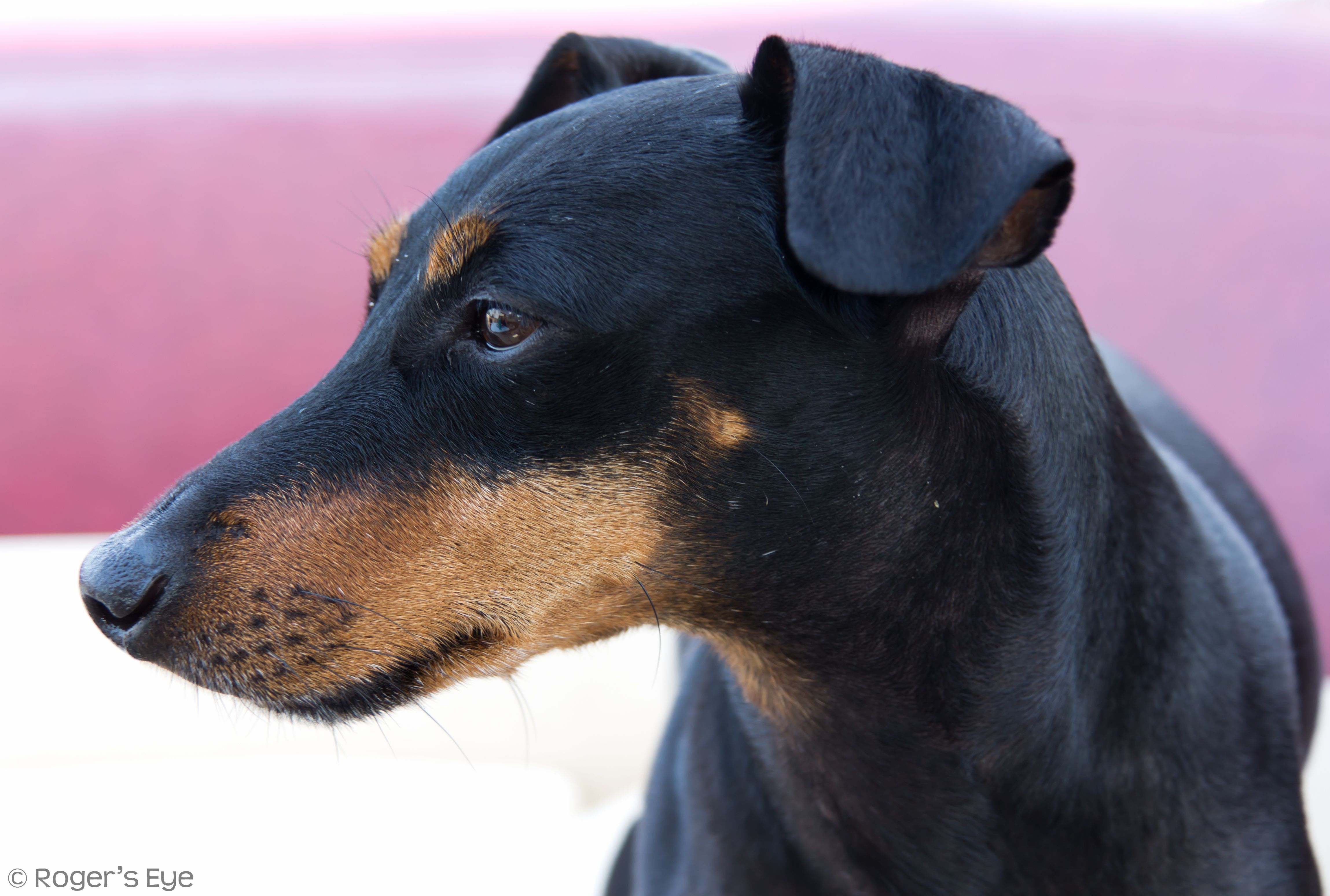 American Manchester Terrier Club