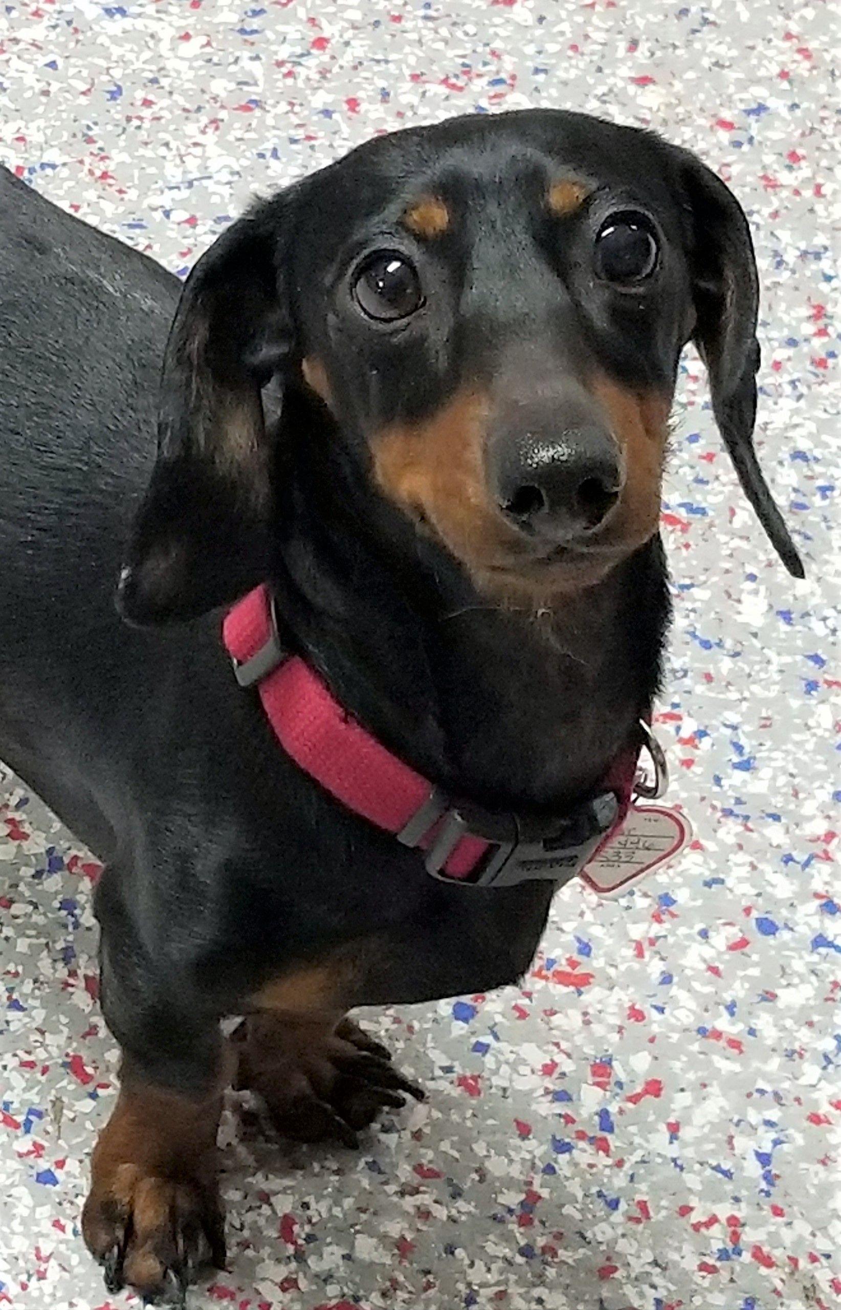 Dachshund dog for Adoption in Lewisburg, TN. ADN781388 on