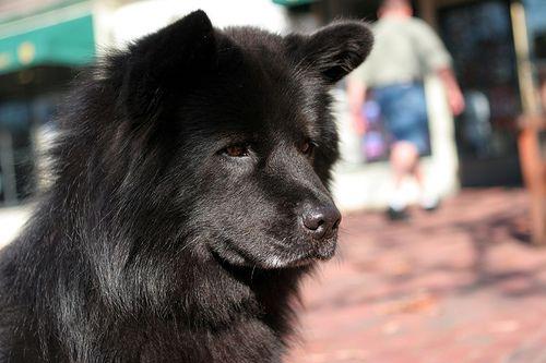 Black Chow Animals Beautiful I Love Dogs My Animal