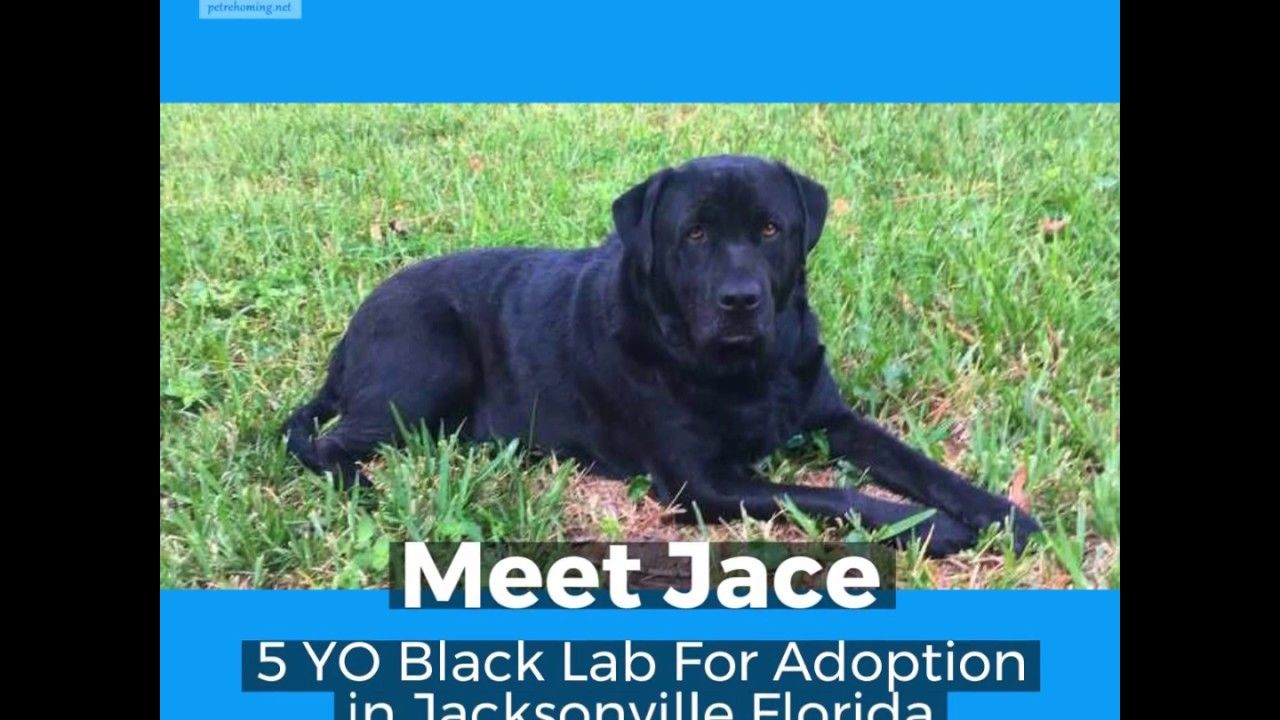 Black Labrador Retriever Mix For Adoption Jacksonville Florida