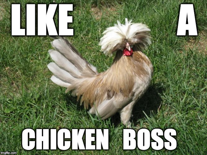 Image Tagged In Chicken Boss Chicken Breeds Funny Animal Memes Funny Animals