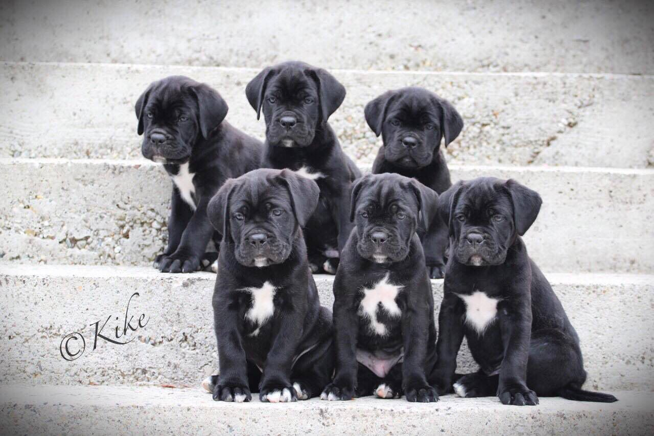 Puppies Manding Owned By Darkhorse Cane Corso Pictured At 6 Weeks