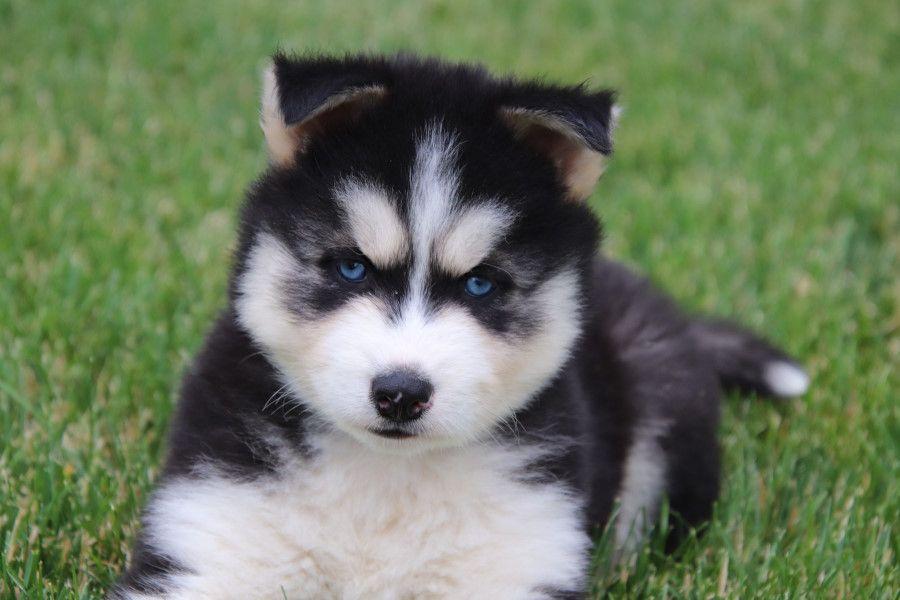 Husky Puppies For Sale Husky Puppies For Sale Puppies Puppies