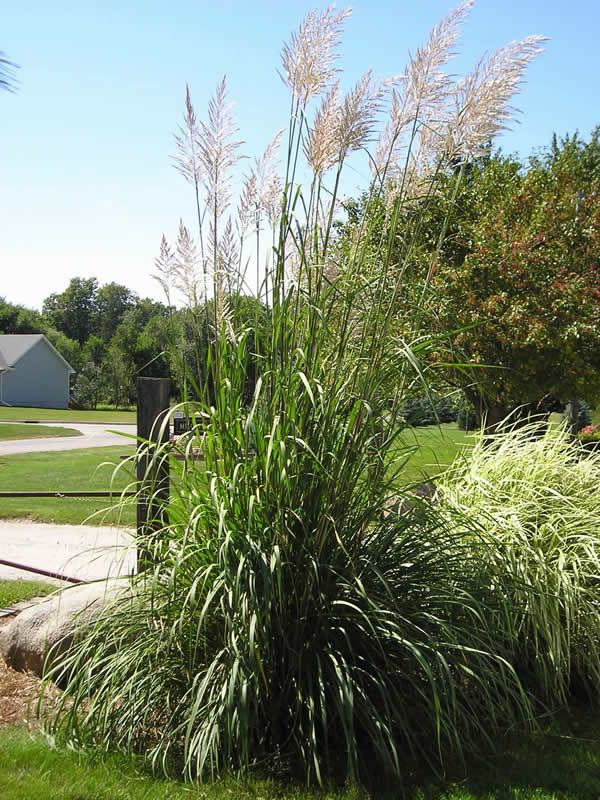 Hardy pampas grass garcia residence pinterest pampas for Hardy ornamental grasses
