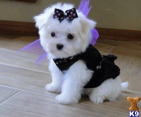 Maltese Puppies I Ll Take Three Please Preferably Little Boys