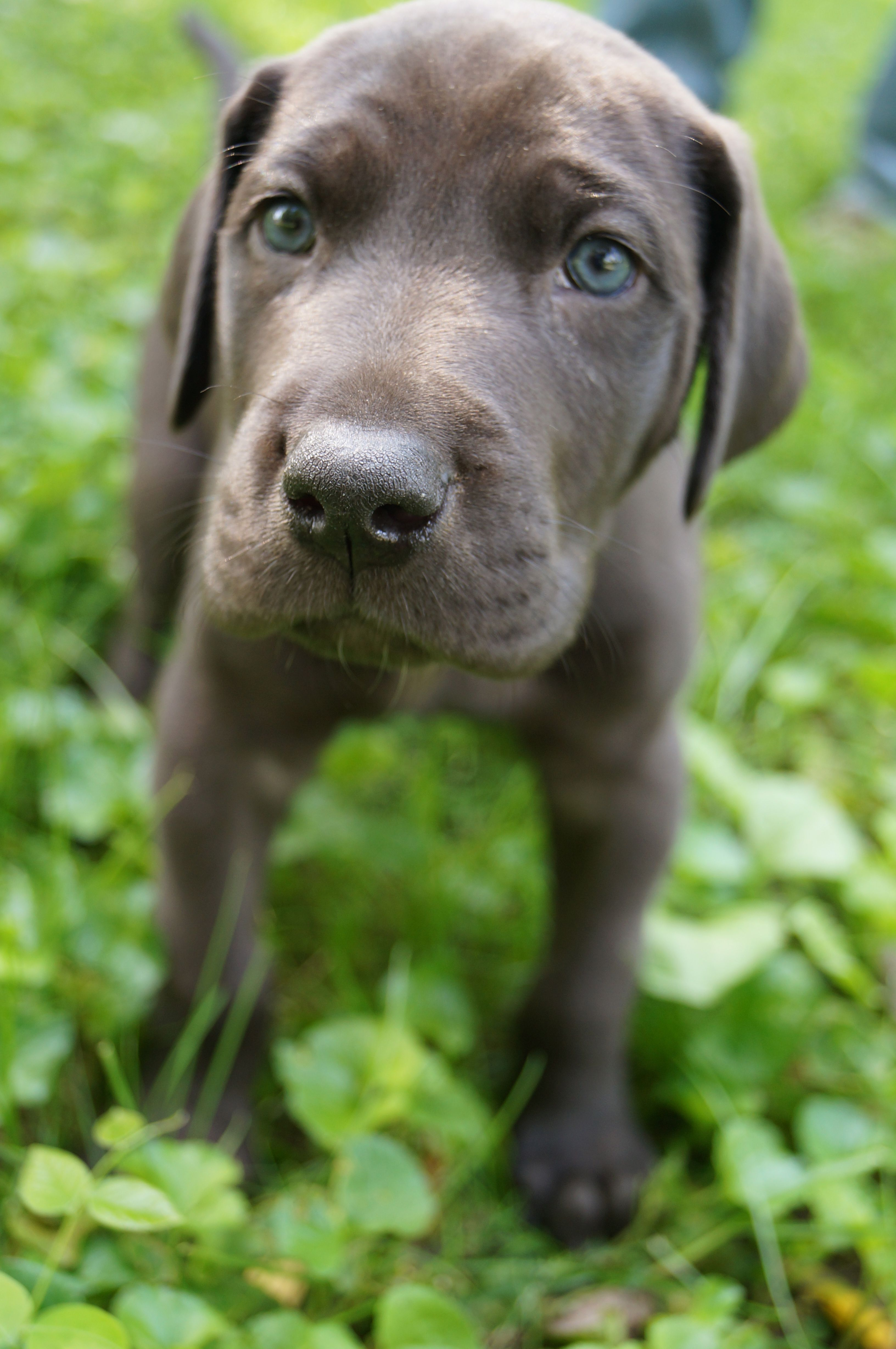 Great Dane Puppy, 5 weeks old! (With images) Great dane
