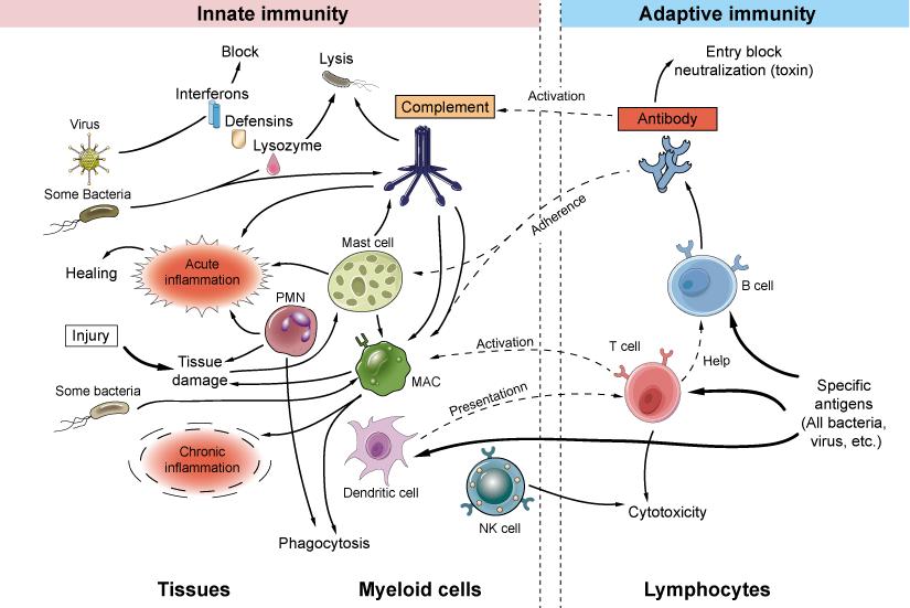 Innate And Adaptive Immune Mechanisms Immunology Immunity Med School Study
