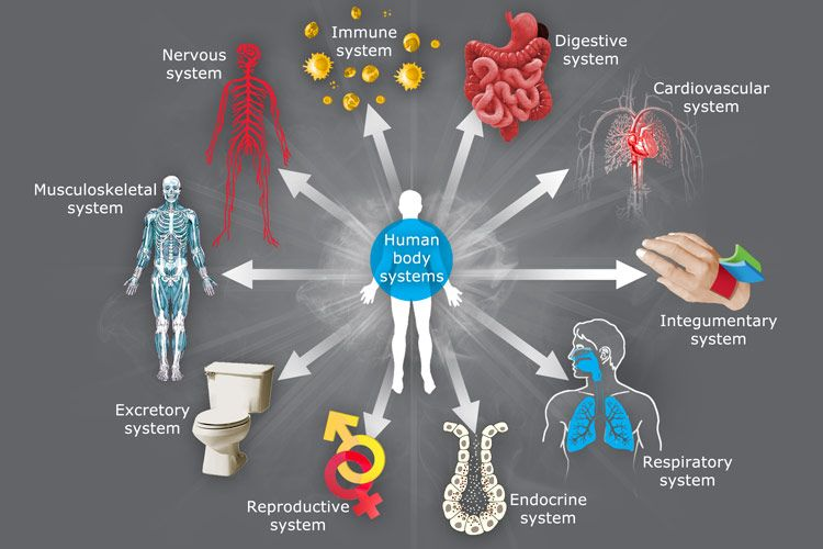 the role and functions of the endocrine system in the human body The pancreas is an organ located in the abdomen it plays an essential role in converting the food we eat into fuel for the body's cells the pancreas has two main functions: an exocrine function that helps in digestion and an endocrine function that regulates blood sugar.