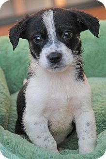 Yuba City Ca Terrier Unknown Type Small Shih Tzu Mix Meet