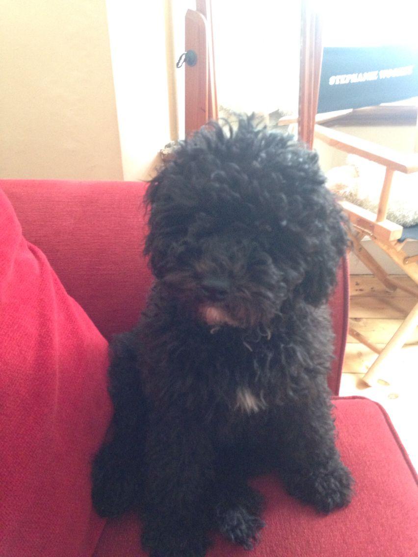 Black Cavapoo Cavoodle Puppy At 15 Weeks Cute Animals Cavapoo Poodle Mix