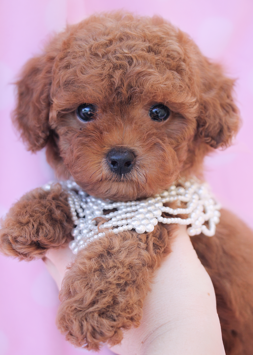 Cute dark red west coast poodles Poodle puppy, Dogs
