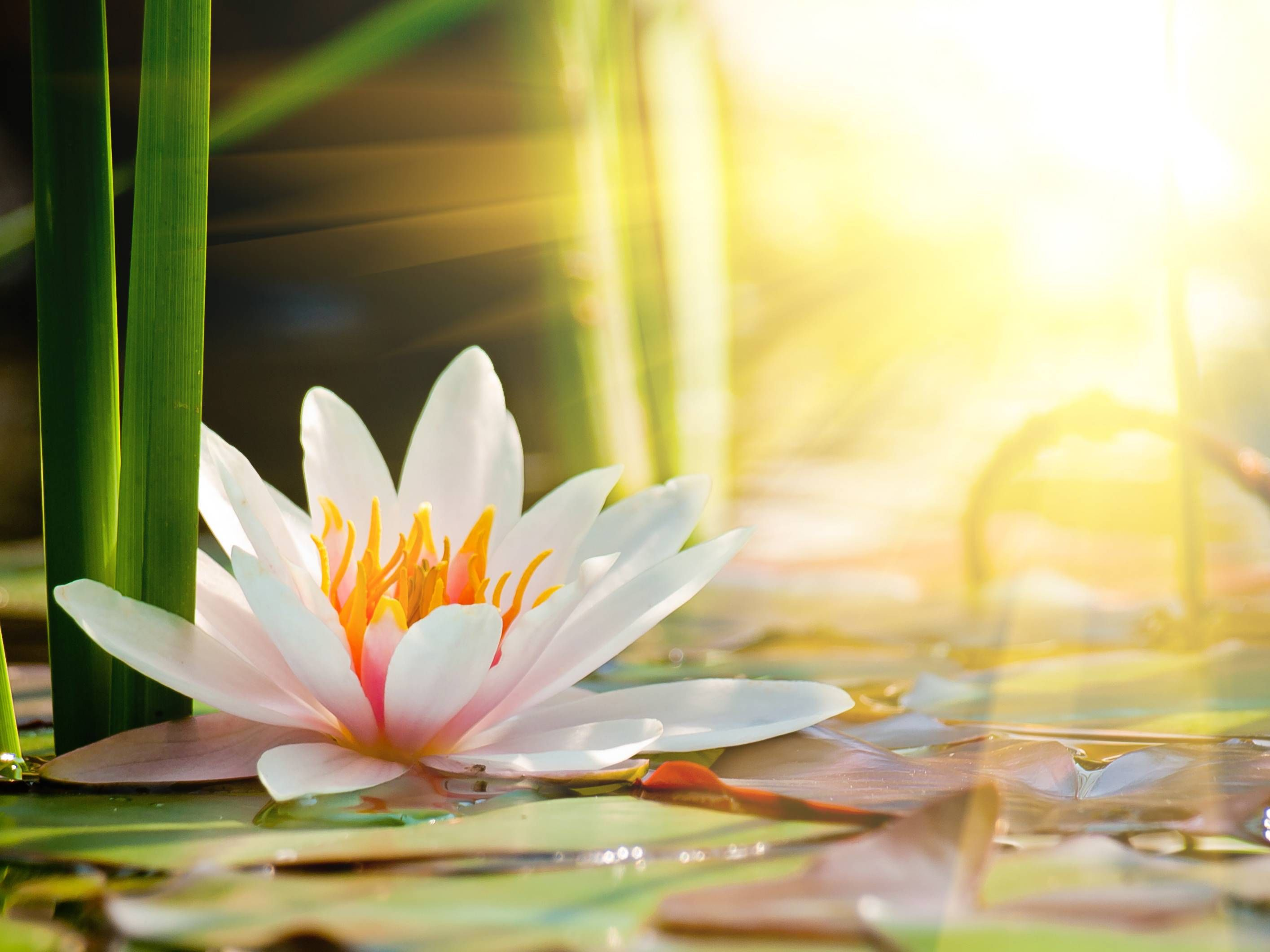 Beautiful Water Lily In The Light Desktop Background Wallpapers