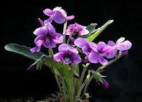 ***La violeta : flor delicada que significa confianza.De acuerdo a la mitología griega una ninfa que escapó de la lujuría de Apolo, se convirtió en una violeta.