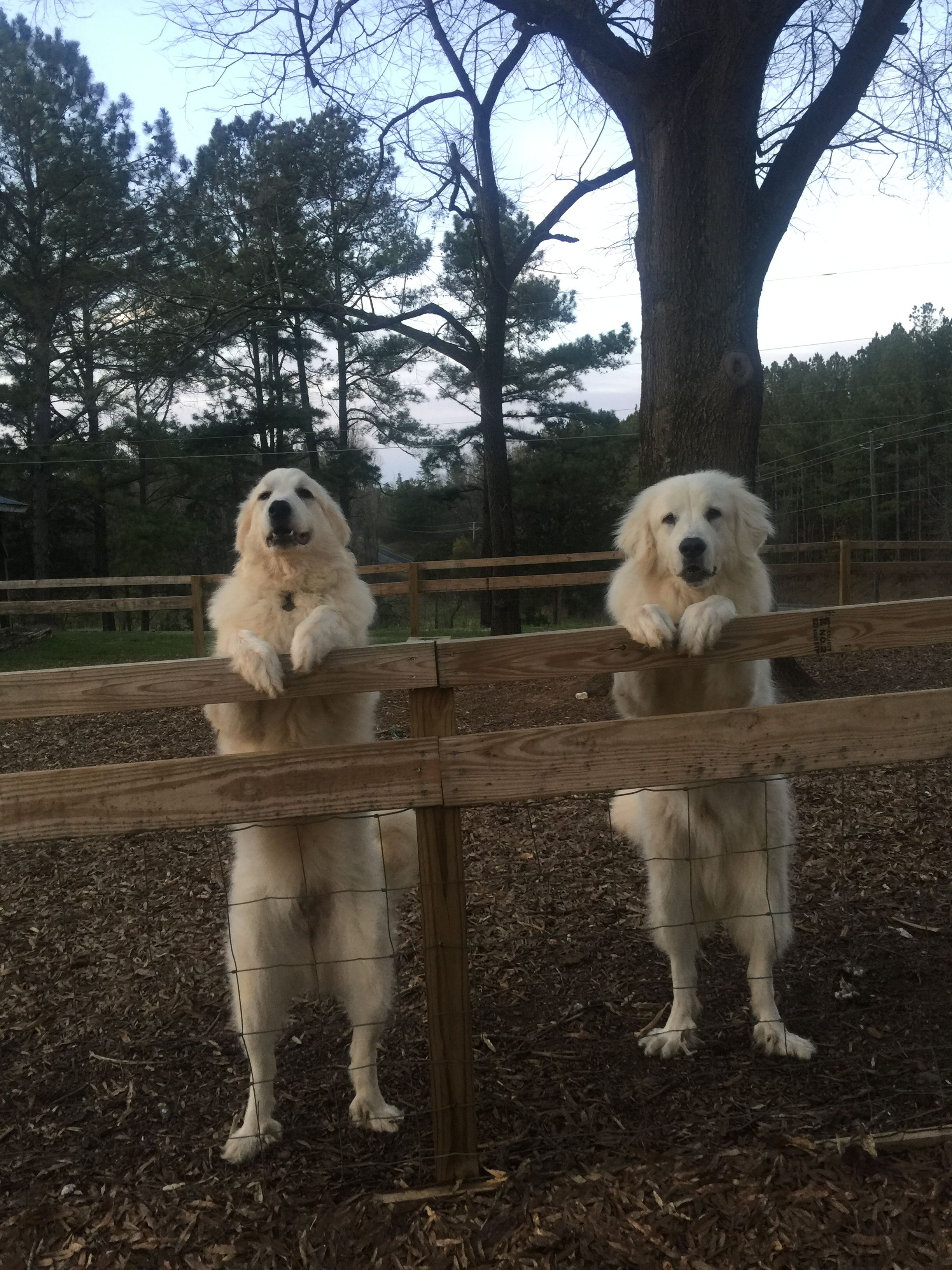 ️ Pyrenees Great pyrenees dog, Livestock guardian dog