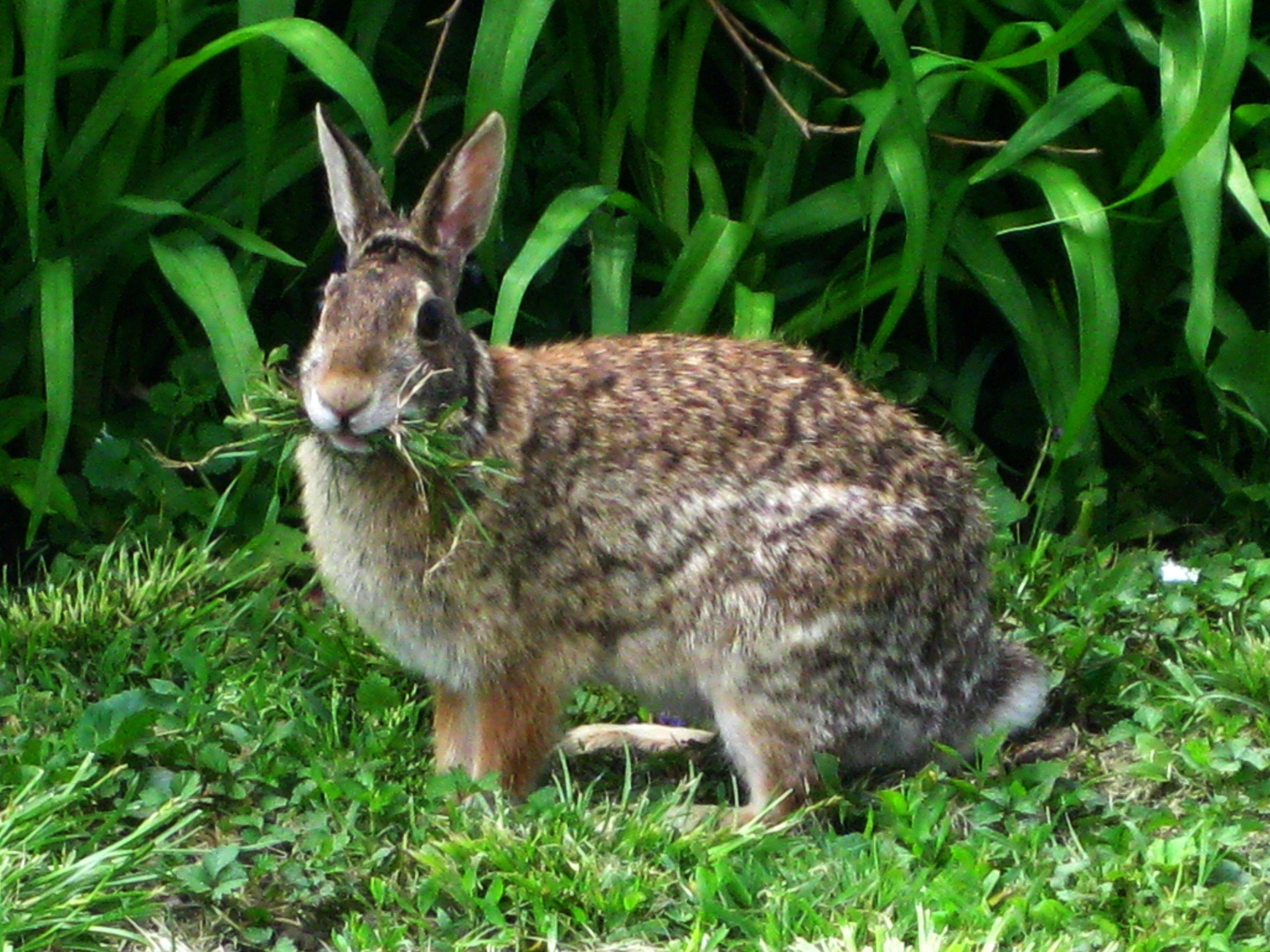 Rabbit Eating - Gray Rabbit Eating Grass Wallpaper