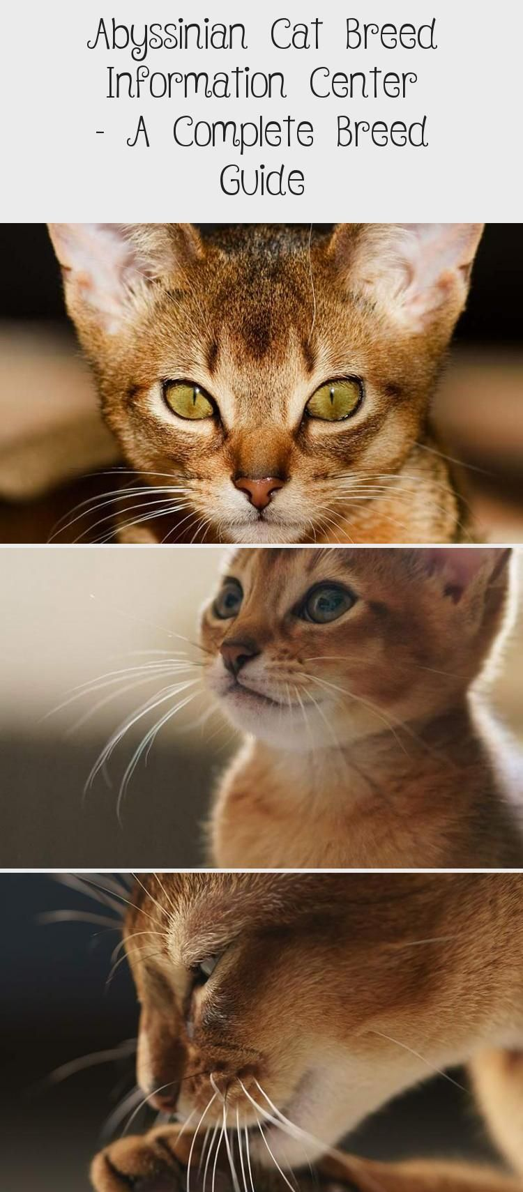Abyssinian Cat Breed Information Center A Complete Breed Guide Cats Abyssinian Cats Cat Breeds Purebred Cats